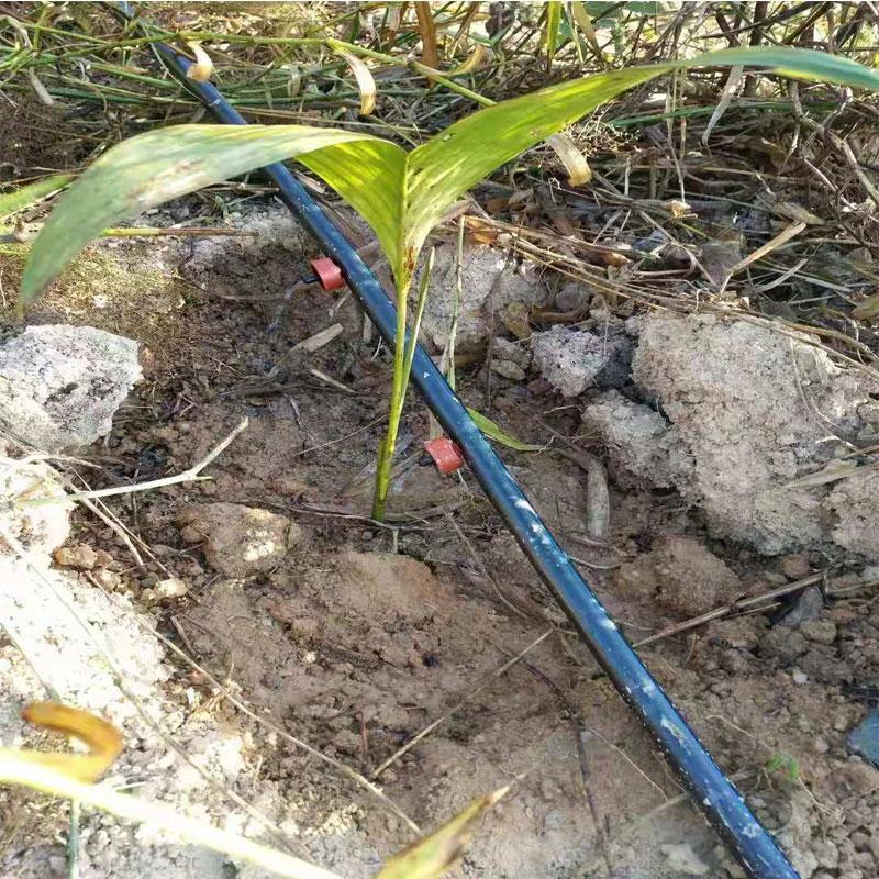 海南果苗灌溉实拍