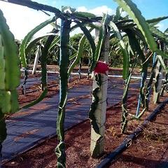 海南火龙果园灌溉工程